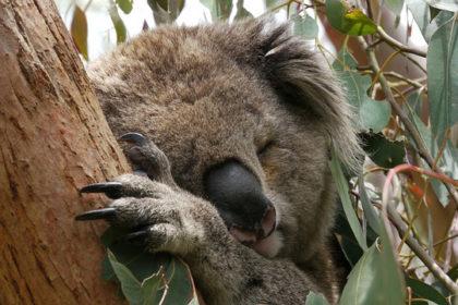 Nestlé Koala Schoko