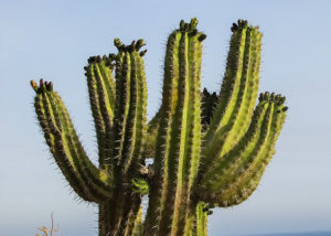 Cactus in abbreviated form