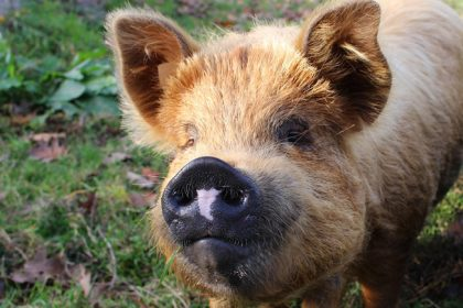 """BGH protects """"Hohenlohe pig"""" – independent of EU rules for g.t.A."""