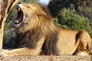 Löwengebrüll